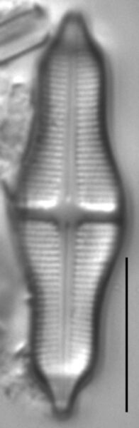 Stauroneis smithii LM5
