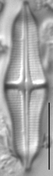 Stauroneis smithii LM3