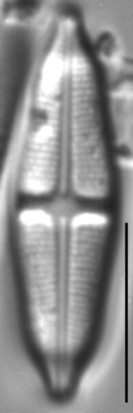 Stauroneis smithii LM2