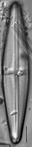 Stauroneis thompsonii LM3