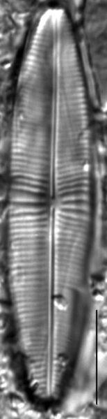 Staurophora columbiana LM3