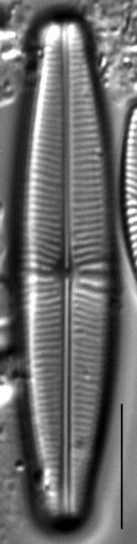 Staurophora columbiana LM2