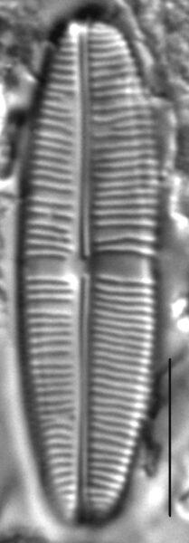 Staurophora soodensis LM1