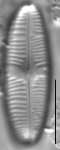 Staurophora soodensis LM6