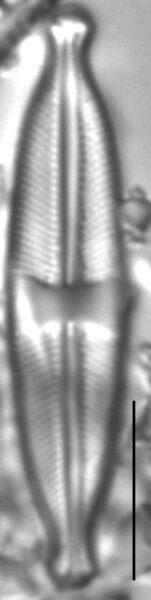 Stauroneis pseudagrestis LM3