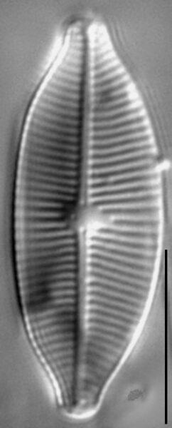 Geissleria lateropunctata LM2