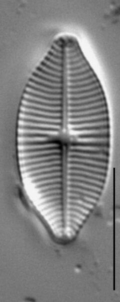 Geissleria lateropunctata LM1