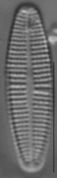 Achnanthidium deflexum LM1