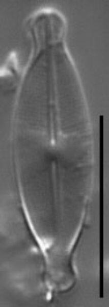 Nupela impexiformis LM3