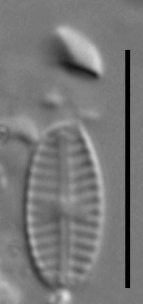 Sellaphora saugerresii LM3