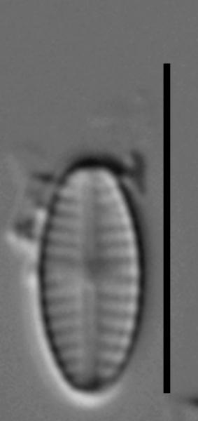 Sellaphora saugerresii LM2
