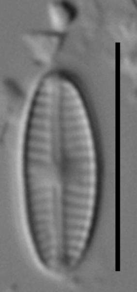 Sellaphora saugerresii LM7