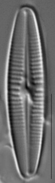Achnanthidium deflexum LM4