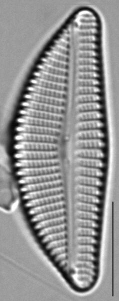 Encyonema auerswaldii LM5