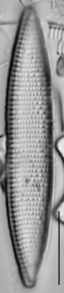 Nitzschia angustata LM5