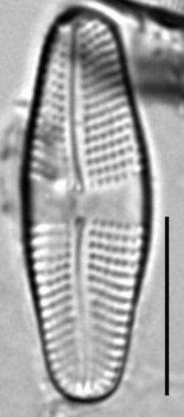 Achnanthes mauiensis LM6