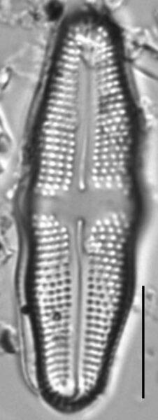 Achnanthes undulorostrata LM3