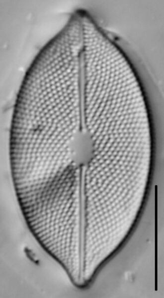 Decussata placentula LM5