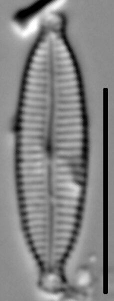 Encyonemopsis Subminuta 001