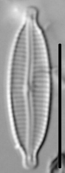 Encyonemopsis Subminuta 003