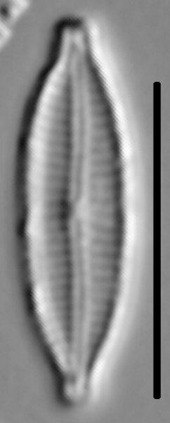 Encyonemopsis Subminuta 004