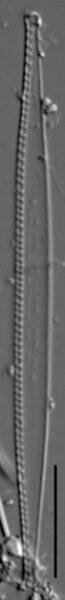 Nitzschia exilis LM2