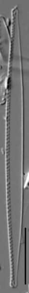 Nitzschia exilis LM5