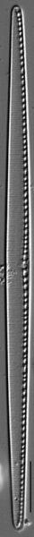 Filiformis Gc106965H001