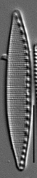Filiformis Gc106965H005