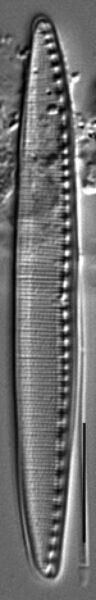 Filiformis Gc106965H006