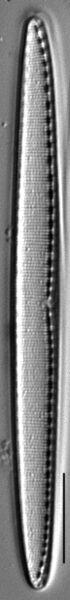 Filiformis Gc106965H010