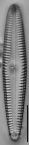 G Amerhombicum  A Isotype 20170301 18 Cl