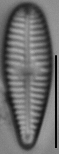 Gomphonema olivaceoides var. densestriata LM6