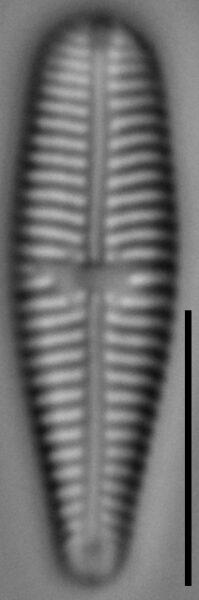 Gomphonema olivaceoides var. densestriata LM3