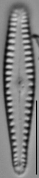 Gomphonema sierranum LM6