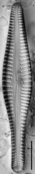 Gomp Mehleri 15592A 08202015 26 Cl