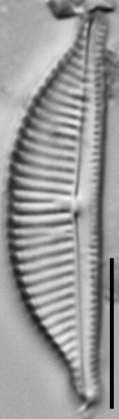 Halamphora latecostata LM5