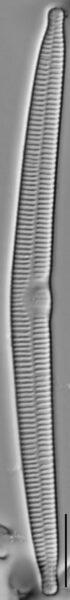 Hannaea arcus LM3