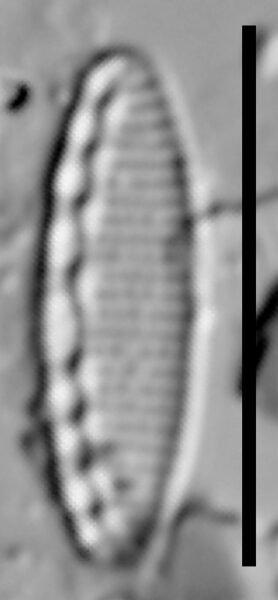 Nitzschia soratensis LM1
