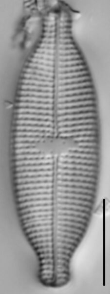 Mastogloia albertii LM1