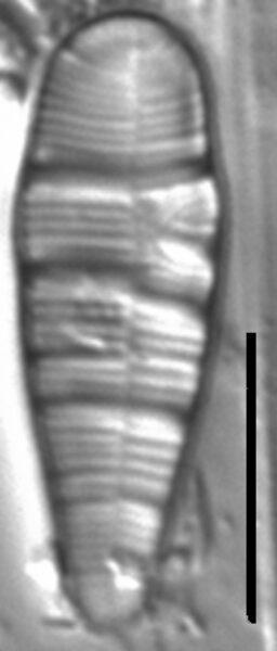 Mini Constrictum Edit