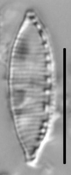 Nitzschia desertorum LM1