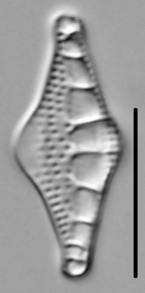 Nitzschia sinuata var tabellaria LM3
