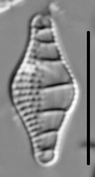 Nitzschia sinuata var tabellaria LM2