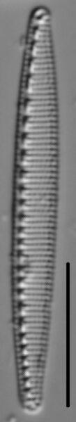 Nitzschia oregona LM3