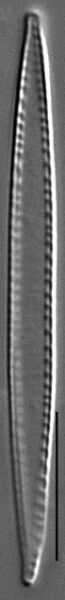 Nitzschia paleacea LM5