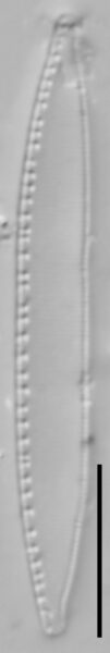 Nitzschia palea LM6