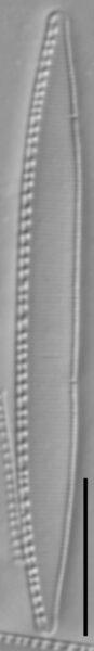 Nitzschia palea LM5