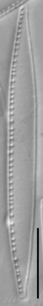 Nitzschia palea LM4