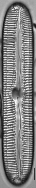 Pinnularia streptoraphe LM6